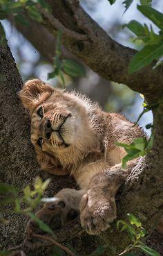 *Lion Cub                                                                                                                                                                                 More