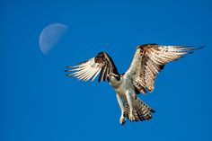 The Three (Osprey) Amigos - Michael Libbe Photography
