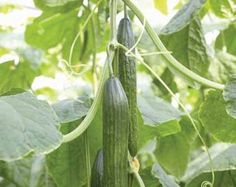 Camaro Long Dutch cucumber or English cucumber Camaro has an average fruit length 33 - - inches). Partial tolerance to powdery mildew. Can be grown year round but better suited for Winter and Fall crops Moderate plant habit. Fall Crops, Cucumber Seeds, Powdery Mildew, English Cucumber, Best Fruits, Low Lights, Better Suited, Dutch, Plant