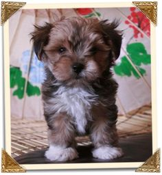Adopted: Angel Doll Tiny Toy Mixed Breed Designer Hybrid Puppies.  #puppies #dogs #pets