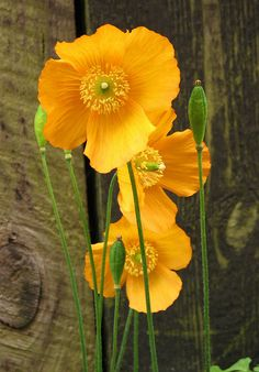 Poppies on Wood | Flickr - Photo Sharing!