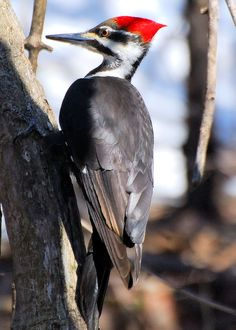 Female Pileated Woodpecker. The first time I saw one of these, I thought I was hallucinating! These birds are impressive.