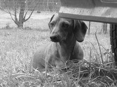 dachshund...