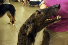 Vlady (Gryffyn's Aeyrie Revelation) caught on camera at the Arkansas Kennel Club's show. Vlad is from our Ozzy Osbourne litter and a near clone of his mother Duri (Ch. Gryffyn's Aeyrie Anduril, JC)