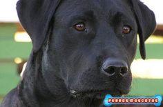 Perro Labrador Mancha