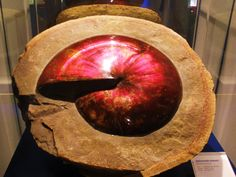 """Opalized Sphenodiscus - I've a passion for fossils!  Especially ammonites!! Having been most fortunate to have dug for the rarest of these beauties in South Dakota. Yes, in parts of Canada you may find these amazing red beauties, but it's my opinion that theirs don't even come close to matching South Dakota's.  In 1998 I found my """"museum quality"""" ammonite, that looks exactly like the one in this photo. Mine is all so in matrix, (makes it more valuable) and is larger than this one...LOVE…"""