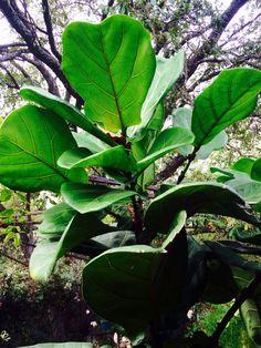 Ornamental Fig Tree or Fiddle Leaf Fig Tree - Ficus Lyrata. Genus:Ficus. Family:Moraceae
