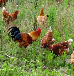 Keeping chickens in your garden ensures a regular supply of fresh eggs plus they keep pests under control and fertilise the garden, says Jane Griffiths.