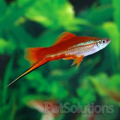 Swordtails are the fish I plan on getting for my twenty gallon.