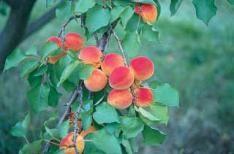 Wilson Delicious Apricot $22.99