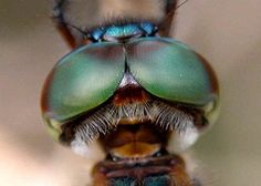 """""""Dragonflies can see in all directions at the same time. That's one of many advantages of a compound eye; you can wrap it around your head..The spherical field of vision means that dragonflies are still watching you after they have flown by…."""