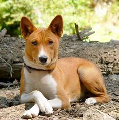 Basenji - loved my Kimba