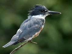 Belted Kingfishers are everywhere I paddle my kayak. They are quite noisy!
