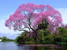 Lapacho rosa, árbol nacional del Paraguay. Fuente: Internet.