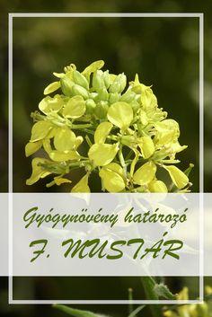 A Fekete mustár népies neve:  Barna mustár, francia mustár.  Hogyan gyűjtsük a Fekete mustár gyógynövényt?  Gyógyászati célokra a növény magját használják, amelynek szedési ideje augusztusra esik. Medical, Herbs, Plant, Medicine, Herb, Med School, Active Ingredient, Medicinal Plants