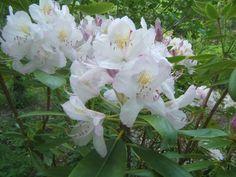 azalea-sensible-gardening.jpg