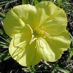 Sooner Plant Farm $15 ;(MISSOURI PRIMROSE)