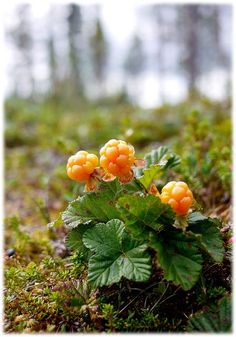 Multer i Norge! -Cloudberries, what a beautiful name for berries!