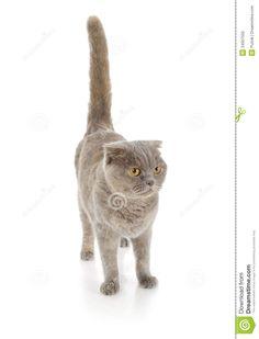 Scottish fold cat isolated on white background. - #scottish - More Scottish Fold Cat Breeds at Catsincare.com!