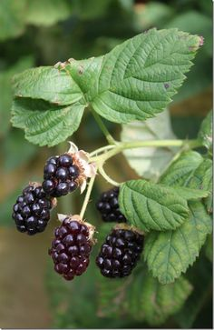 Blackberries......-used to pick wild blackberries as a child and Mama would make blackberry cobbler.  Yum!