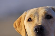 yellow labrador.