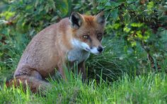 Young Fox by Ronald Coulter on 500px