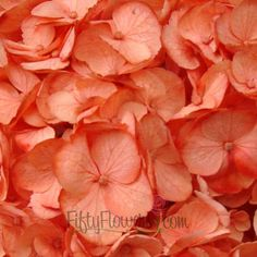 FiftyFlowers.com - Salmon Peach Tinted Hydrangea Flower