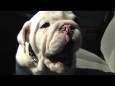 """""""Bentley the Bulldog Puppy is Fussy pt. 2"""" Dawwwww! The most adorable beastly sounds ever."""