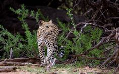 Kgalagadi leopard and wild cat