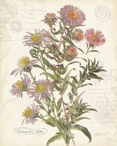 September Aster  by Katie Pertiet