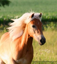 Best Photos of Haflinger Horses -Shady Grove Haflinger Pictures