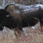 Bison Wildlife Photography