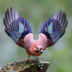 eurasian jay,  only colourful member of the Crow family.