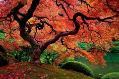 maple tree - Google Search