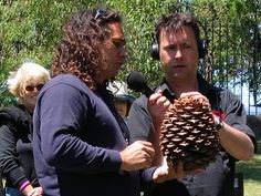 The Bunya Pine (Araucaria bidwillii), is most famous for its giant cones (up to five kg) that will render you senseless if they fall on your head.     The species is only grows naturally in a couple of places in Queensland – most famously in the Bunya Mountains, near Kingaroy but also at the head of the Brisbane River and in two places in far north Queensland.    They contain up to 600 grams of starch-rich seeds which can be eaten raw or roasted.