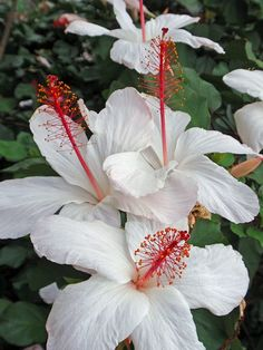 Tropical Hibiscus! OMG This is so pretty!