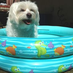 Jelly taking a dip in the empty kiddie pool #pet #dog #maltipoo