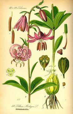 lilium-azucena