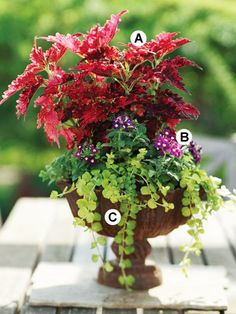 Clever Containers for Small Spaces :: Create a Centerpiece, it's smart to choose plants that grow up, around, and down. Here, coleus gives height, verbena depth, and creeping Jenny length -- and the mix of red, purple, and light green adds pop to the color combination.