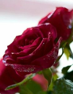 Little Rose, Beautiful Roses, Red Roses, Lush, Thinking Of You, Floral, Plants, Burgundy, Rainbow