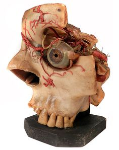 Wax Anatomical Model – 1800s