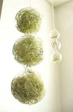 シダ系のエアプランツをボール状のガラスに入れてディスプレイ。フックでひっかけるタイプの製品なので、増えても大丈夫。ガーラントのように。