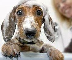 Cualquiera que no sepa qué sabor tiene el jabón, jamás ha bañado a un perro.