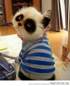 Panda cats are better than regular cats…