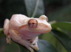 Albino Cuban tree frog(Osteopilus septentrionalis) Photo credit: Gerard Siatkowski