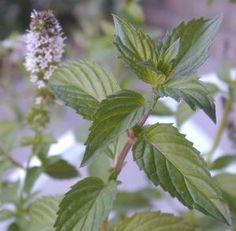 Chocolate Mint - mints develop best colors & flavors when grown in the sun. Bees & butterflies love mint flowers.