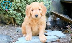 Mighty | Goldendoodle - Miniature Puppy For Sale | Keystone Puppies Goldendoodle Miniature, Miniature Puppies, Goldendoodle Puppy For Sale, Labradoodle, Puppies For Sale, Dog Lovers, Miniatures, Pets, Prince