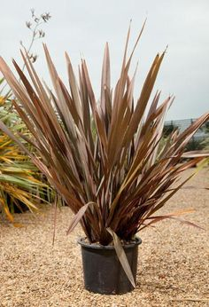 full size picture of new zealand flax 39 sundowner 39 phormium tenax garden pinterest. Black Bedroom Furniture Sets. Home Design Ideas
