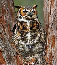 Baby owl camouflaged by mother feathers