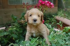 SkyeDoodles.com: Pink Girl is almost ready to go home!! #labradoodle #australian_labradoodle #puppies #puppy #GA #Georgia #doodles #doodle